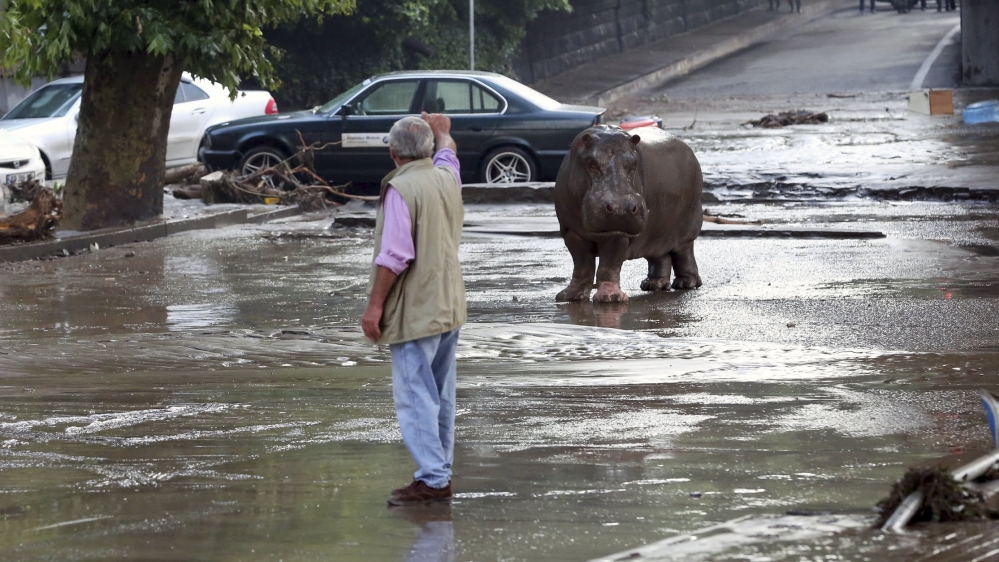 Hippo in the streets of the Georgian capitol