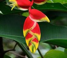 grenada-flower