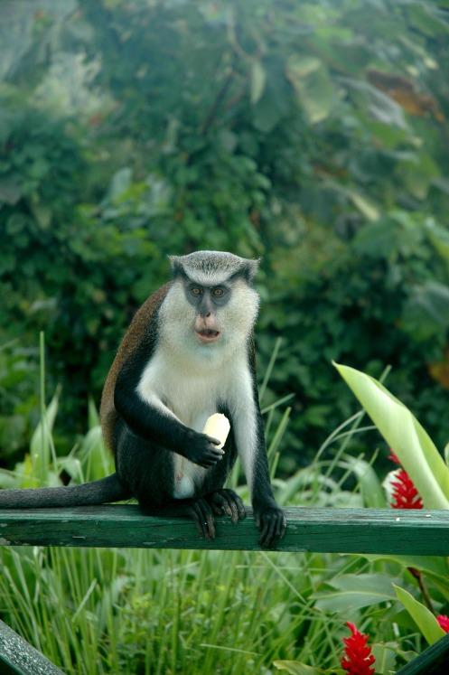 monkey-grenada